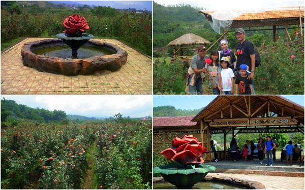 Wisata Petik Mawar Presto ( Bunga Mawar Tanpa Duri )