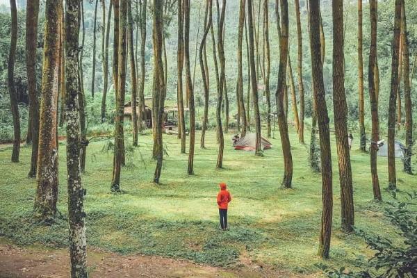 Wisata Hutan Pinus semeru sebagai tujuan menarik untuk wisatawan